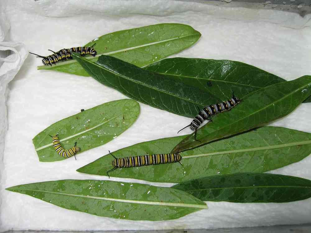 07-09-06 caterpillars raised inside from eggs at Depot + home - 2 Queens, 2 Monarchs 2