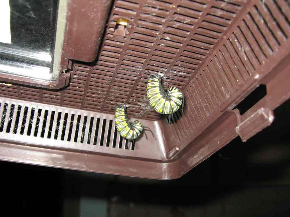 07-09-06 caterpillars ready to form chrysalis - both Queens raised inside from eggs at Depot