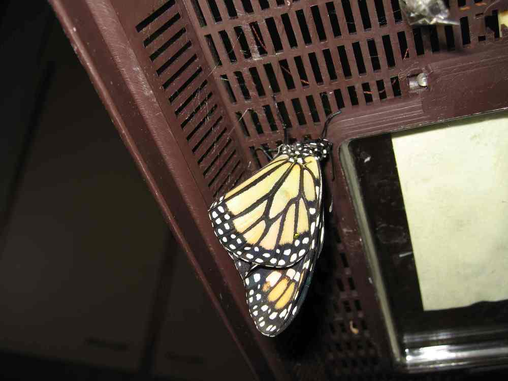07-14-06 freshly hatched Monarch butterfly from chrysalis formed 7-6-06 at home