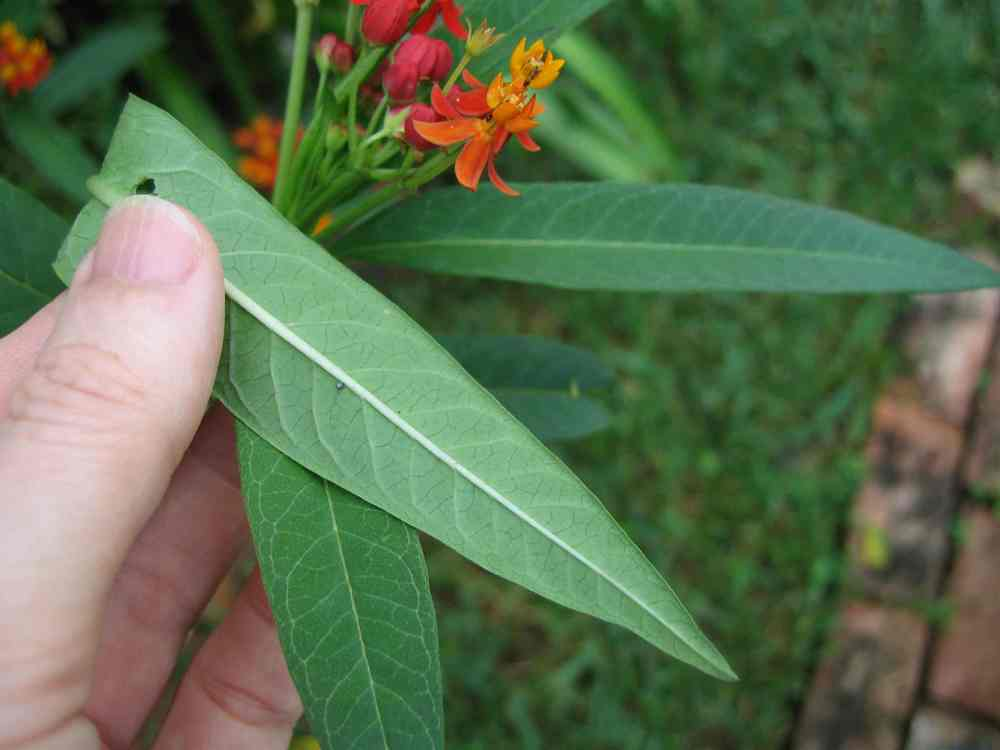 07-20-06 older egg on butterfly weed plant.jpg